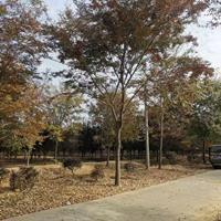 江苏供应14-20公分红榉 榉树 江苏红榉 榉树价格规格齐全