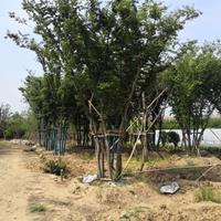 江苏沭阳丛生榉树产地直销/江苏丛生榉树价格优惠
