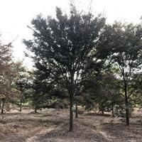 江苏榉树价格/江苏沭阳榉树价格/报价