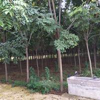 供应栾树2-15公分,法桐2-20公分,合欢2-13公分 绿化行道树