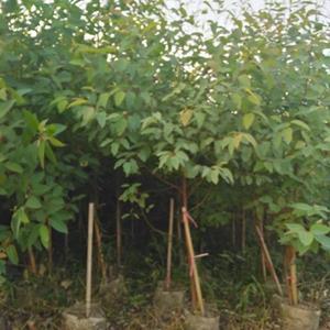3米桉树苗价格 福建桉树基地 桉树苗批发