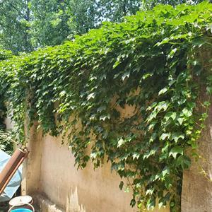 爬山虎基地 爬山虎1米长 爬山虎种植农户价格
