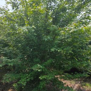 大量供应鸡爪槭,鸡爪槭基地,鸡爪槭价格