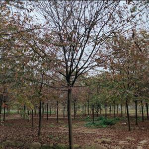 大量出售榉树/江苏苗圃榉树价格/榉树基地照片