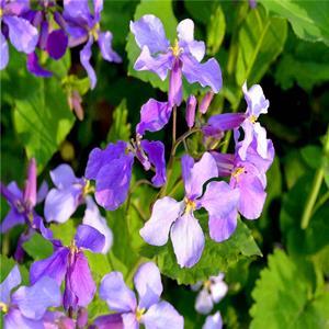 花海花镜类景观草花种子二月兰及杯苗