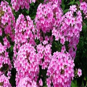 供应出售花海 花境类景观草花种子 福禄考 福禄考种子及苗