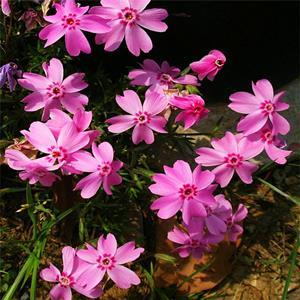 花海花镜类景观草花种子福禄考及杯苗