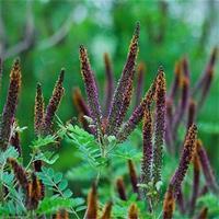紫穗槐槐苗基地防沙固沙护坡植物紫花苗刺槐树苗耐寒耐旱绿化