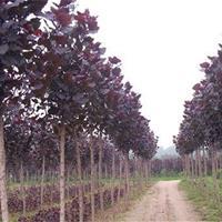 红叶杨 价格优惠 现挖现卖 基地苗圃出售