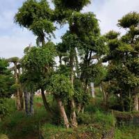 2020年河南造型高档赤楠价格 造型椤木石楠 造型杨梅树价格