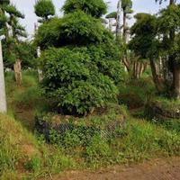 2020年湖北造型苗木价格 造型红继木 造型榆树 高档赤楠桩
