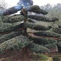 6米造型红桎木 4米造型榆树 60公分丛生紫微 丛生造型赤楠