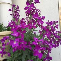 哪里有卖紫罗兰种子?