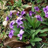紫花地丁种子哪里有卖?