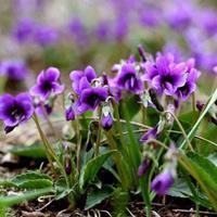 紫花地丁种子什么价格?+