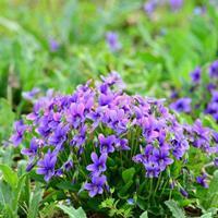 哪里有紫花地丁种子卖?