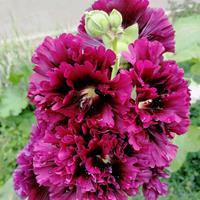 蜀葵種子批發多少錢一斤?