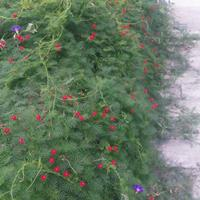 羽叶茑萝种子