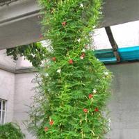 羽叶茑萝种子批发多少钱一斤?