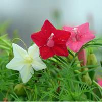 羽叶茑萝种子多少钱一斤?