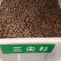 哪里可以买到三尖杉种子?多少钱一斤?