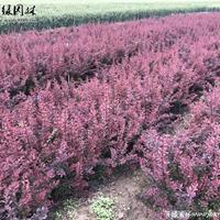 「紫叶小檗」苗圃紫叶小檗_价格_图片