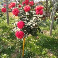 河南月季,玫瑰等等O,6元