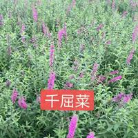 水生植物千屈菜、再力花、梭鱼草