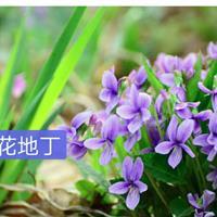 地被类紫花地丁、三色瑾、火星花