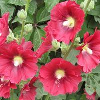 蜀葵種子多少錢一斤,蜀葵種子批發價格
