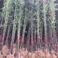 供应:刚竹、淡竹、箬竹、金镶玉竹、紫竹、慈孝竹等