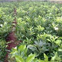 柚子树种子多少钱一斤?哪里有卖?