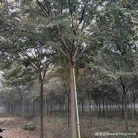 櫸樹·櫸樹圖片·櫸樹種植基地