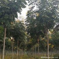 黃山欒樹·黃山欒樹圖片·黃山欒樹種植基地