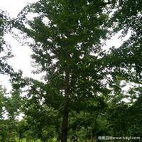 銀杏樹·銀杏樹圖片·銀杏樹種植基地