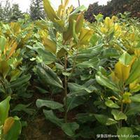 广玉兰·广玉兰图片·广玉兰种植基地