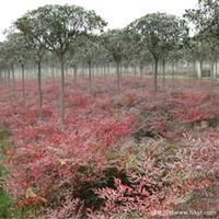 南天竹·南天竹图片·南天竹种植基地