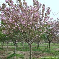 樱花·樱花图片·樱花种植基地