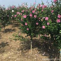 木槿花·木槿花图片·木槿花种植基地