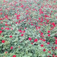 红帽月季·红帽月季图片·红帽月季种植基地