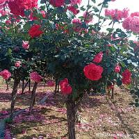 月季树·月季树种植基地·月季树图片
