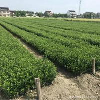 大叶黄杨苗·大叶黄杨苗图片·供应大叶黄杨苗