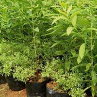 江苏檀香种子多少钱一斤,檀香种子批发价格