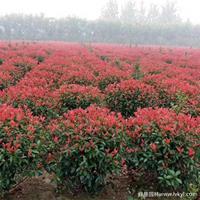 供应优质红叶石楠球·红叶石楠球图片·红叶石楠球基地