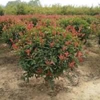 江苏红叶石楠、红叶石楠球、红叶石楠树