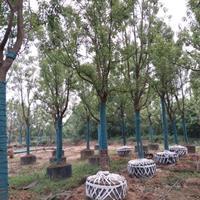 15-30公分控根容器香樟树,全冠香樟容器苗,批发香樟基地
