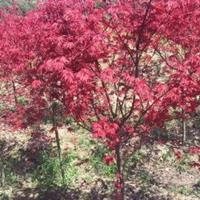 供应:红枫、日本红枫、三季红红枫、美国红枫