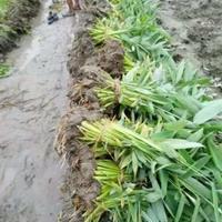 水生植物:再力花、旱伞草、睡莲、梭鱼草直销