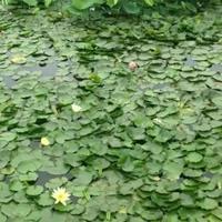 水生植物:荷花、粉黛乱子草、水生鸢尾、水葱、菱角等