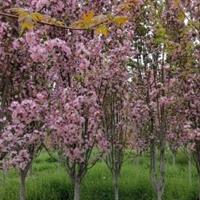 基地直銷:垂絲海棠、西府海棠、北美海棠、絢麗海棠、冬紅果海棠